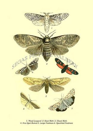 Wood Leopard, Goat Moth, Ghost Moth, Five-Spot Burnet, Large Footman, Speckled